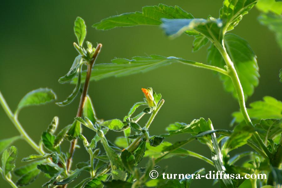 Turnera diffusa – die kleinblättrige Damiana